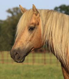 4r Quarter Horses